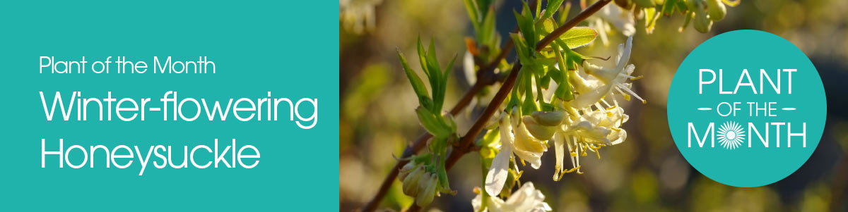 Plant of the Month - Winter-flowering Honeysuckle